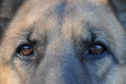 Dog, Home, Shepherd, Animal, Mammal, Smart, Wool