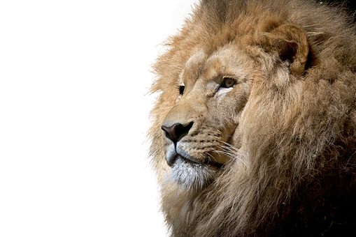 Lion, Isolated, Cut Out, Big Cat, Majestic, Lion Head