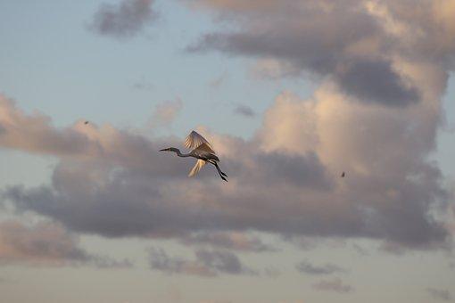 Little Egret, White, Flying, Wildlife, Animal, Sky