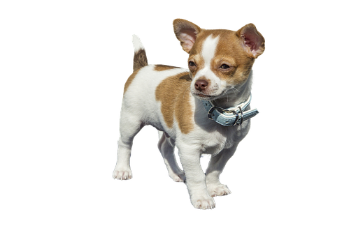 Chihuahua, Puppy Dog Animals Sweet, Isolated, Mammal