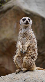 Meerkat, Animal, Zoo, Nature, Sit, Curious