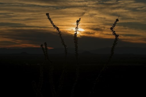 Ocotillo At Sunset, Sunset, Ocotillo, New, Mexico