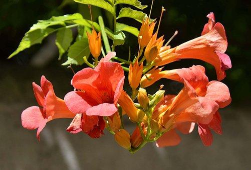 Flowers, Bignone, Orange, Nature, Summer, Garden