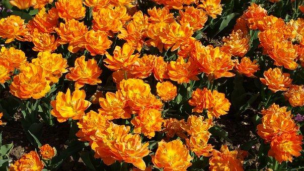 Orange, Tulips, Flower, Floral