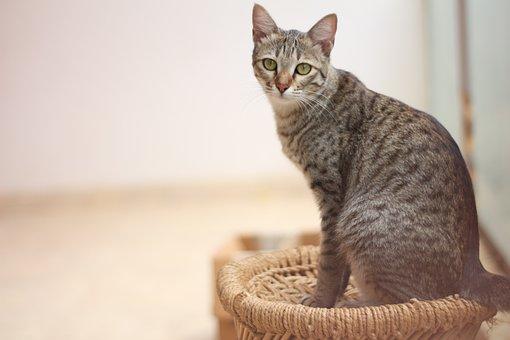Cat, Pet, Gray Tabby, Feline, Curious, Watch, Look
