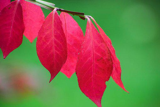 Leaf, Red, Leaves, Autumn, Nature, Plants, Color, Light