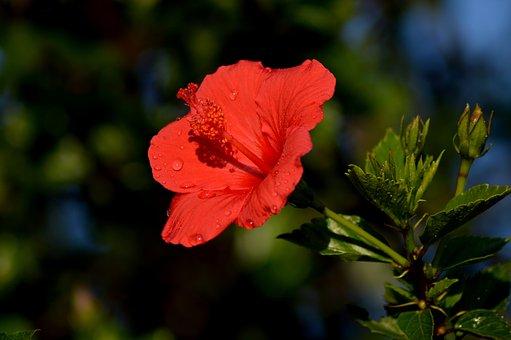 Red, Flower, Bloom, Romance, Garden, Love, Color