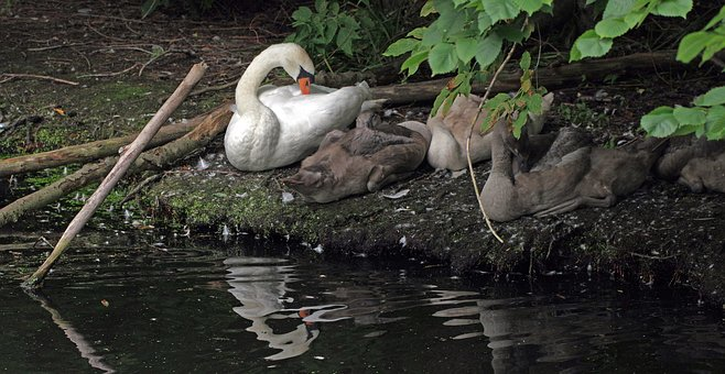 Swan, Bird, Family, Water, Water Bird, Rest Of The Time
