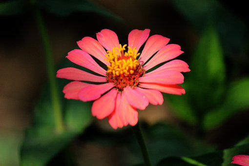 Rose, Romantic, Garden, Valentine, Fragrance, Flowers