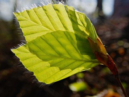 Leaf, Leaves, Beech Leaf, Beech, Single-sheet, Spring