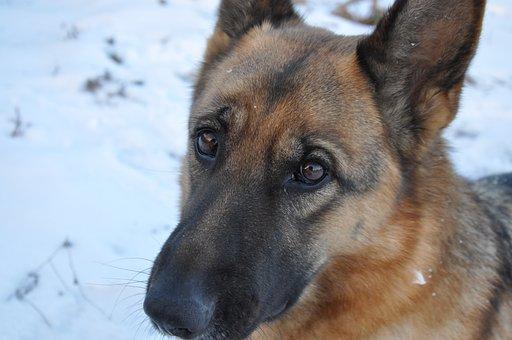 Dog, Training, Snow, Pet, Shepherd, Nose, Animal