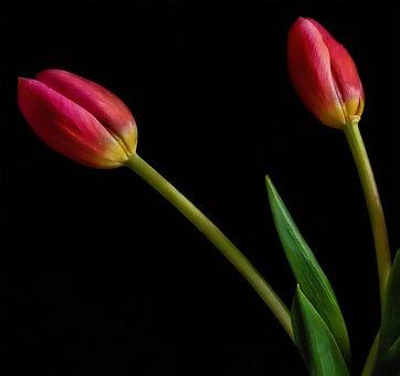 Tulip, Flower, Still, Life, Colour, Red
