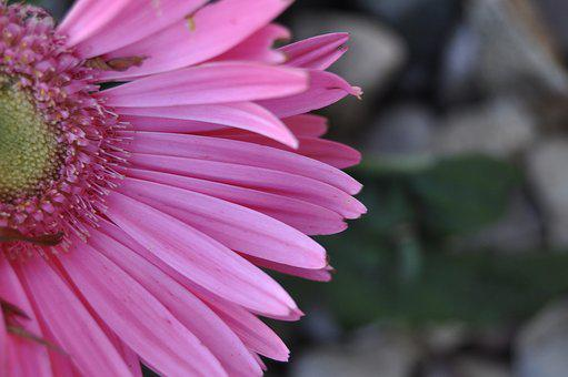 Flower, Pink, Nature, Bloom, Summer, Plant, Floral