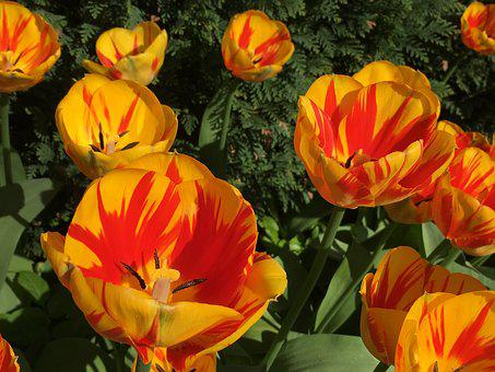 Tulips, Flowers, Spring, Nature, Plant, Color