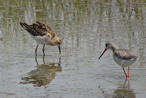 Bird, Ruff, Calidris Pugnax, Medium-sized, Wading Bird