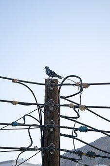 Electric Post, Wooden Post, Pigeon, Dove, Oman