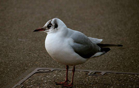 Seagull, Bird, Animal, Animal World, Nature, Water Bird