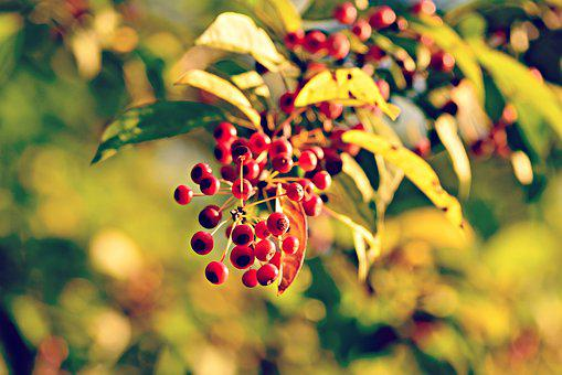 Berry, Fruit, Branch, Foliage, Tree, Autumn