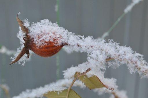 Frost, Snow, Bush, Berry, Rose Hip, Leann, Rime, Winter