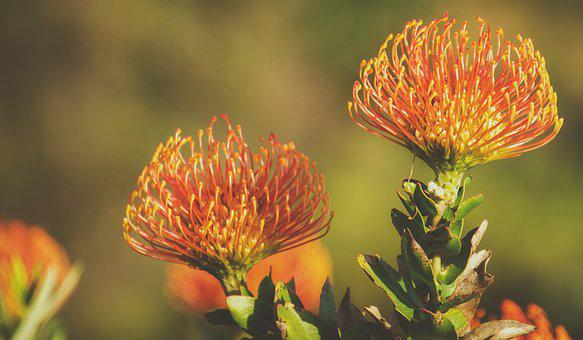 Protea, Pink, Flower, Blossom, Plant, Nature, Bloom