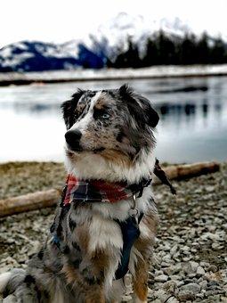 Australian Shepherd, Mountains, Pond, Snow, Blue Merle