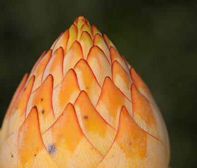 Sugar Bush, Bud, Flower, Orange, Flora, Nature