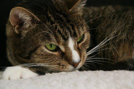 Cat, Pet, Domestic Cat, Whiskers, Mackerel, Cat Face