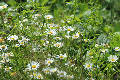 Chamomile, Flowers, Nature, Plant, Summer, Garden