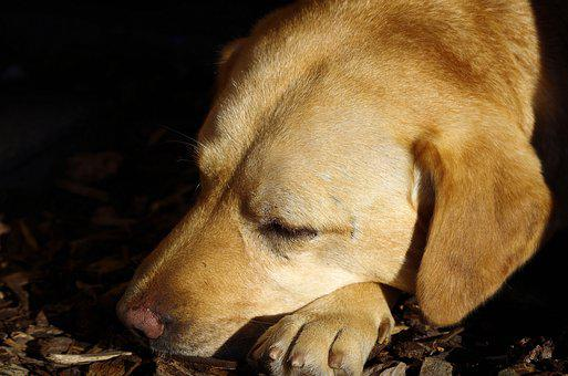 Dog, Labrador, Sleeping, Close Up, Pet, Animal