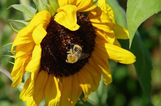 Sunflower, Hummel, Close, Close Up, Yellow, Nature