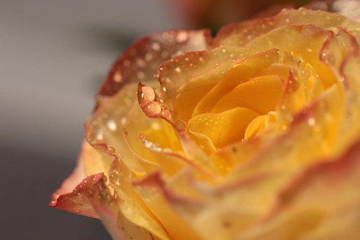 Rose, Tea, Flower, Nature, Closeup, Plant, Petal