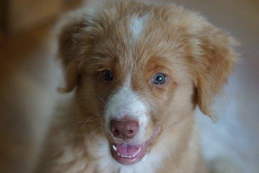 Novascotiannoutaja, Dog, Tolleri, Cute, Puppy