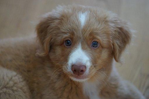 Puppy, Cute, Tolleri, Dog, Retriever