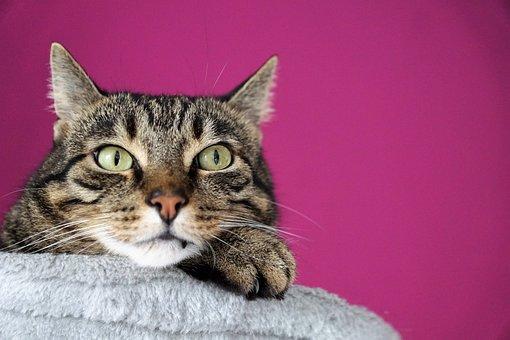 Cat, Snout, Face, Ears, View, Pet, Animal, Eyes