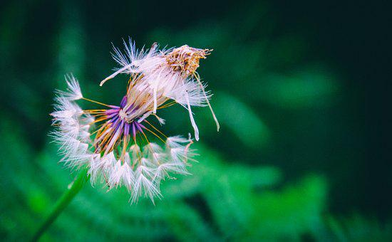 Dandelion, Flower, Clock, Nature, Plant, Summer, Seeds