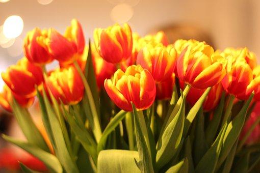 Tulips, Flowers, Spring, Flower, Garden, Bukier, Tulip
