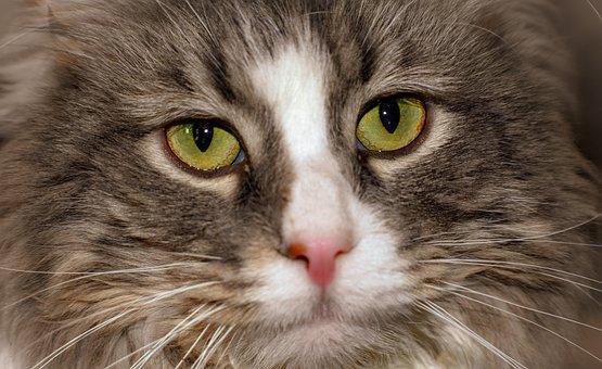 Cat, Feline, Pet, Animal, Portrait, Furry, Housecat
