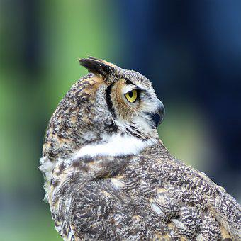 Great Horned Owl, Owl, Bird, Raptor, Feathers, Wildlife