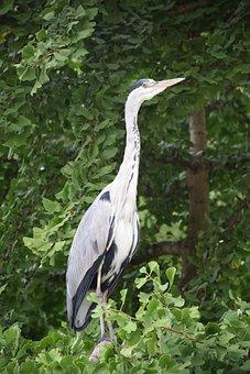 Heron, Gray, Grey Heron, Bird, Wader, Eggs, Beak