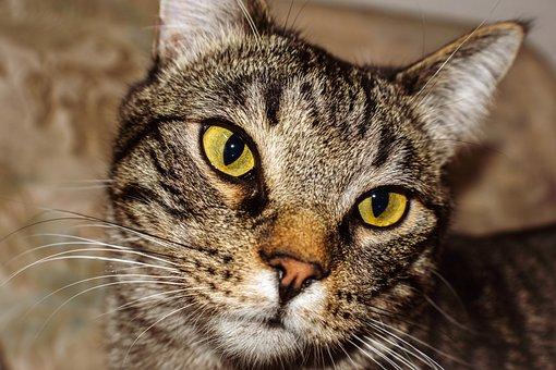 Cat, Feline, Pet, Animal, Portrait, Housecat, Head