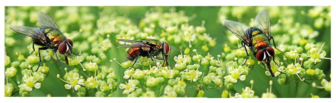 Flies, Insects, Pests, Garden, Nature