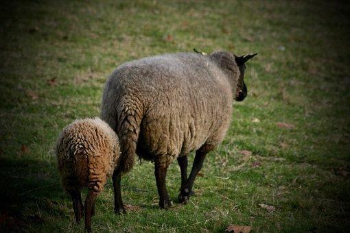 Pets, Sheep, Mother Sheep, Lamb, Pasture