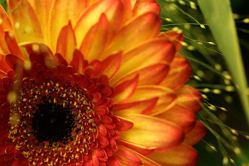 Gerbera, Yellow, Macro, Flower, Blossom, Bloom