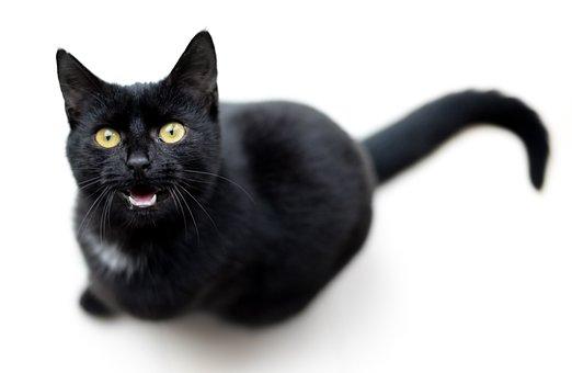 Cat, Black, Meow, Isolated, Single, Animal, Pet, Feline