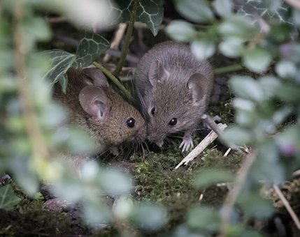 Wood Mouse, Nature, Rodent, Cute, Sweet, Wildlife