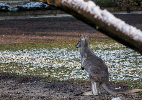 Kangaroo, Zoo, Mammal, Australia, Marsupials, Nature