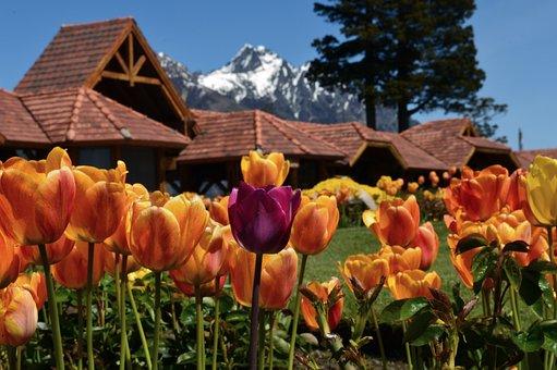 Bariloche, Llao Llao, Patagonia, Tulip, Tulips, Flowers