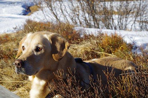 Dog, Labrador, Pet, Animal, Beautiful