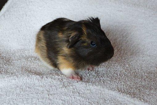 Guinea Pig, Baby Animal, Rodent, Pet, Cute, Mammal