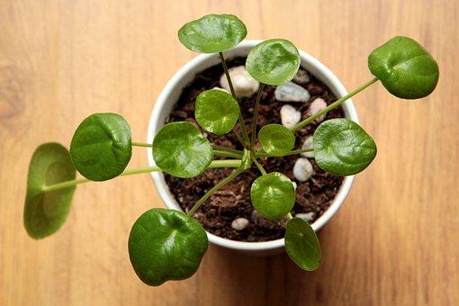 Pilea, Plant, Green, Foliage, Nature, Leaf, Home